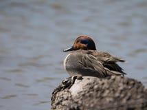 Canard en bois de sommeil Photo stock