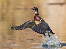Canard en bois en vol Images libres de droits