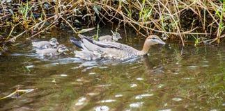 Canard en bois et poussins de mère Photos libres de droits