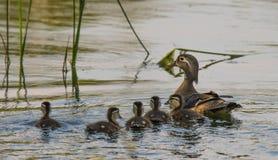 Canard en bois femelle photo stock