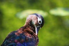 Canard en bois femelle photo libre de droits