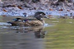 Canard en bois femelle 3 Photo stock
