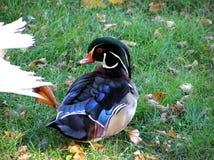 Canard en bois (mâle) Image libre de droits