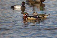 Canard en bois mâle Photographie stock libre de droits