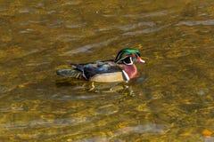 Canard en bois mâle Images libres de droits
