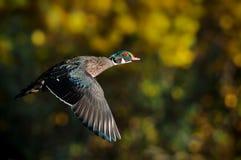 Canard en bois mâle ou canard de la Caroline en vol Photos stock