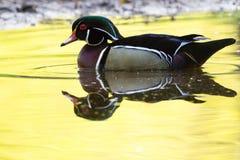 Canard en bois masculin 5 Photographie stock libre de droits