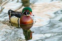 Canard en bois masculin dans l'eau Image libre de droits