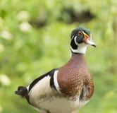 Canard en bois masculin se tenant devant l'appareil-photo Photo stock