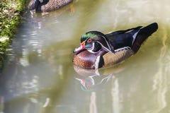 Canard en bois se reposant sur sombre, Muddy Water photo stock