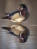 Canard en bois se tenant en eau peu profonde Photos libres de droits