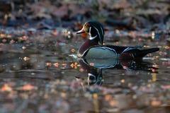 Canard en bois sur l'étang jaune de fleur Photo libre de droits