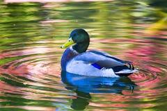 Canard en bois sur un étang Image libre de droits