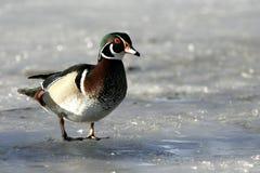 Canard en bois sur un étang congelé Photo libre de droits