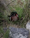 Canard en bois photos libres de droits