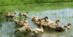 Canard en nature photos libres de droits