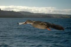 Canard en vol 4 photos stock