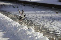 Canard en vol Photos libres de droits