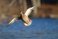 Canard entrant de Mallard en vol