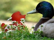 Canard et canard de chéri Photographie stock libre de droits