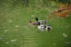 Canard et canards chez San Antonio Botanical Gardens photo stock