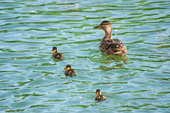 Canard et canetons Photo stock