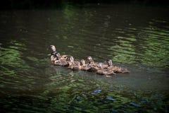 Canard et canetons de Mallard de mère chez le lac et l'Iris Gardens swan Photographie stock