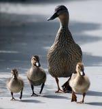 Canard et canetons de mère Photo libre de droits