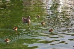 Canard et canetons minuscules Photo libre de droits
