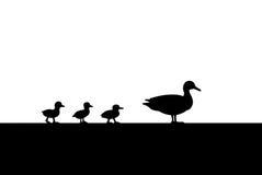 Canard et canetons pour une silhouette de promenade Photographie stock