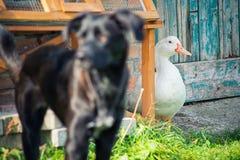 Canard et chien Photographie stock libre de droits