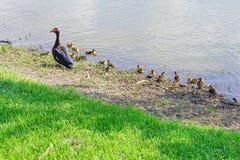 Canard et enfant de Muscovy de mère Photographie stock