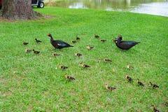 Canard et enfant de Muscovy de mère Photo libre de droits