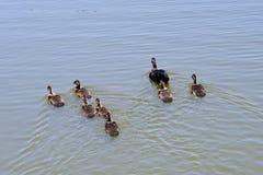 Canard et enfant de Muscovy de mère Image libre de droits