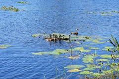 Canard et enfant de Muscovy de mère Photos libres de droits