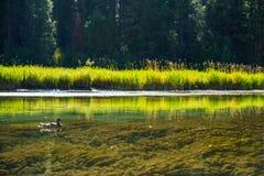Canard et la rivière image stock