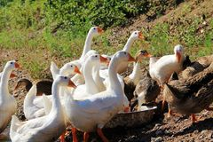 Canard et oie Image libre de droits