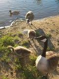 Canard et oies dans un étang charlatan images stock