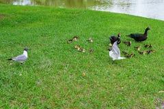Canard et oiseau de Muscovy Photographie stock libre de droits