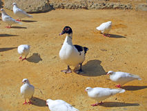 Canard et pigeons Photographie stock