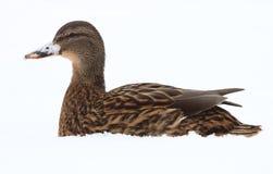 Canard femelle Photos stock