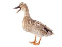 Canard femelle Photo stock