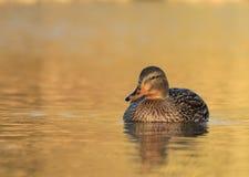 Canard femelle de canard photographie stock libre de droits
