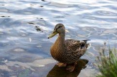 Canard femelle de canard Photos stock