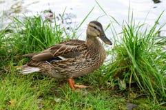 Canard femelle de canard Photos libres de droits