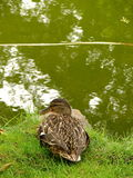 Canard femelle de canard Images stock
