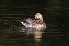 Canard femelle de canard pilet du nord (acuta d'ana) Photos libres de droits