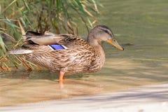 Canard femelle, canard sauvage chiné, avec le plumage tacheté brun s image libre de droits
