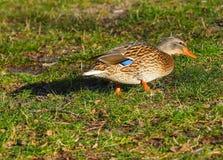 Canard femelle sur l'herbe Photos stock