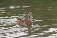 Canard femelle sur le lac Photo libre de droits